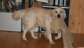 Golden_Retriever_Kuscheldecke