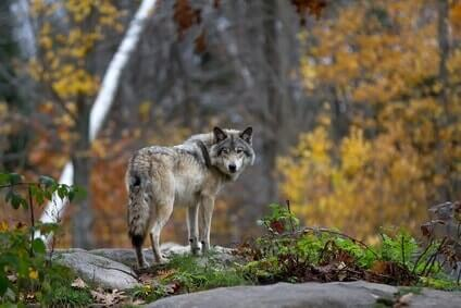 timber wolf im herbstwald
