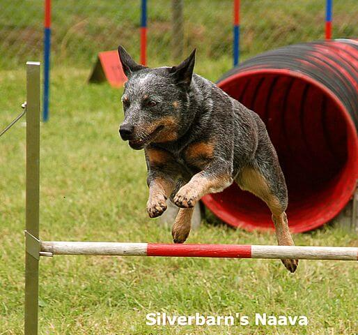 Australian Cattle Dog Agility