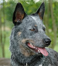 australian-cattle-dog-hunderasse