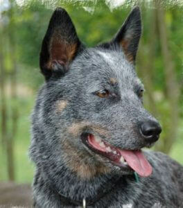 australian cattle dog profilbild