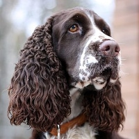 English Springer Spaniel Profilbild