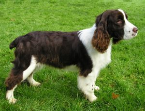 English Springer Spaniel Welpe im Gras