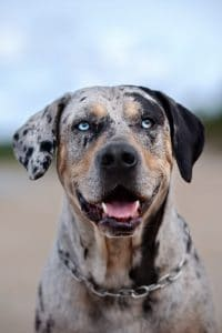 Catahoula Leopard Dog Steckbrief
