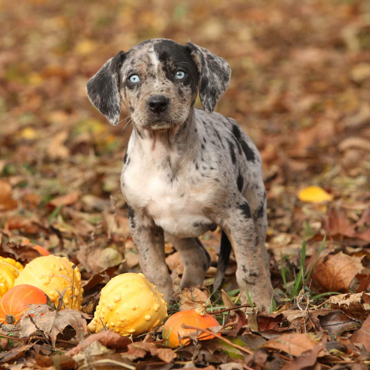 Catahoula Leopard Dog Welpe