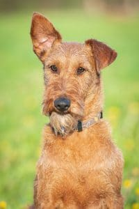 Irish Terrier Steckbrief