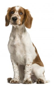 Welsh Springer Spaniel Steckbrief