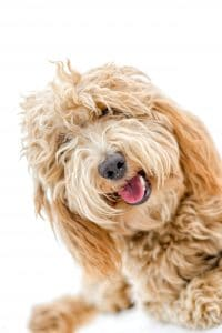 Labradoodle in cremeweiss