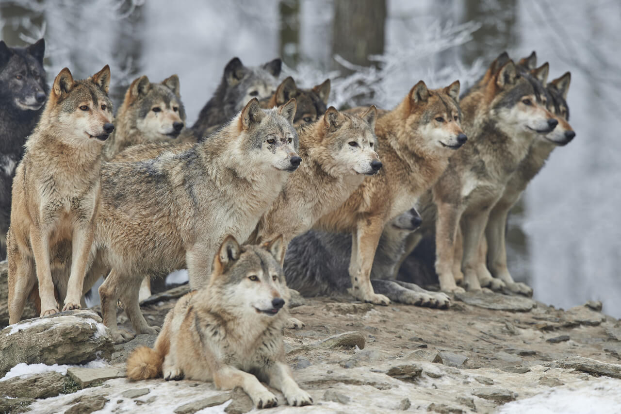 Wolfsrudel in der Wildnis