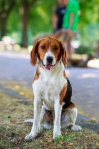 American Foxhound Steckbrief Foto