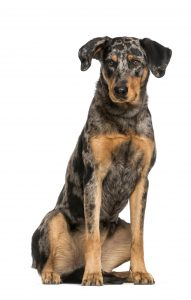 Beauceron Steckbrief