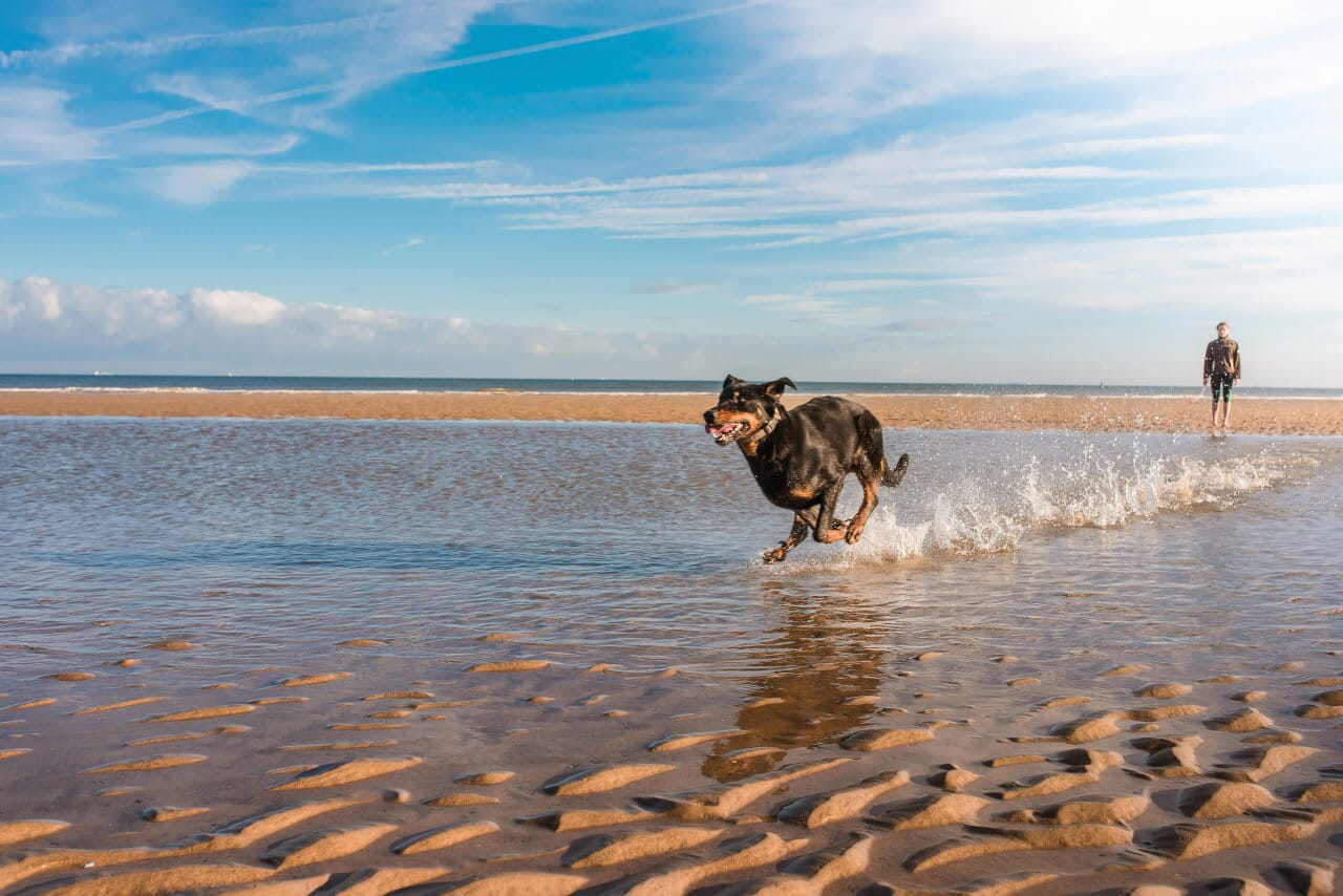 Beauceron am Meer