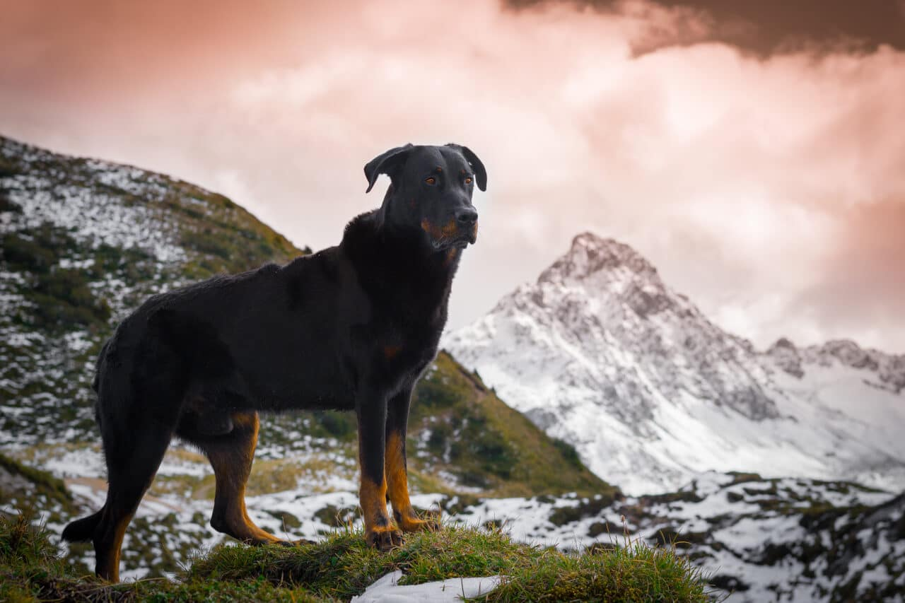 Beauceronrüde in den Bergen