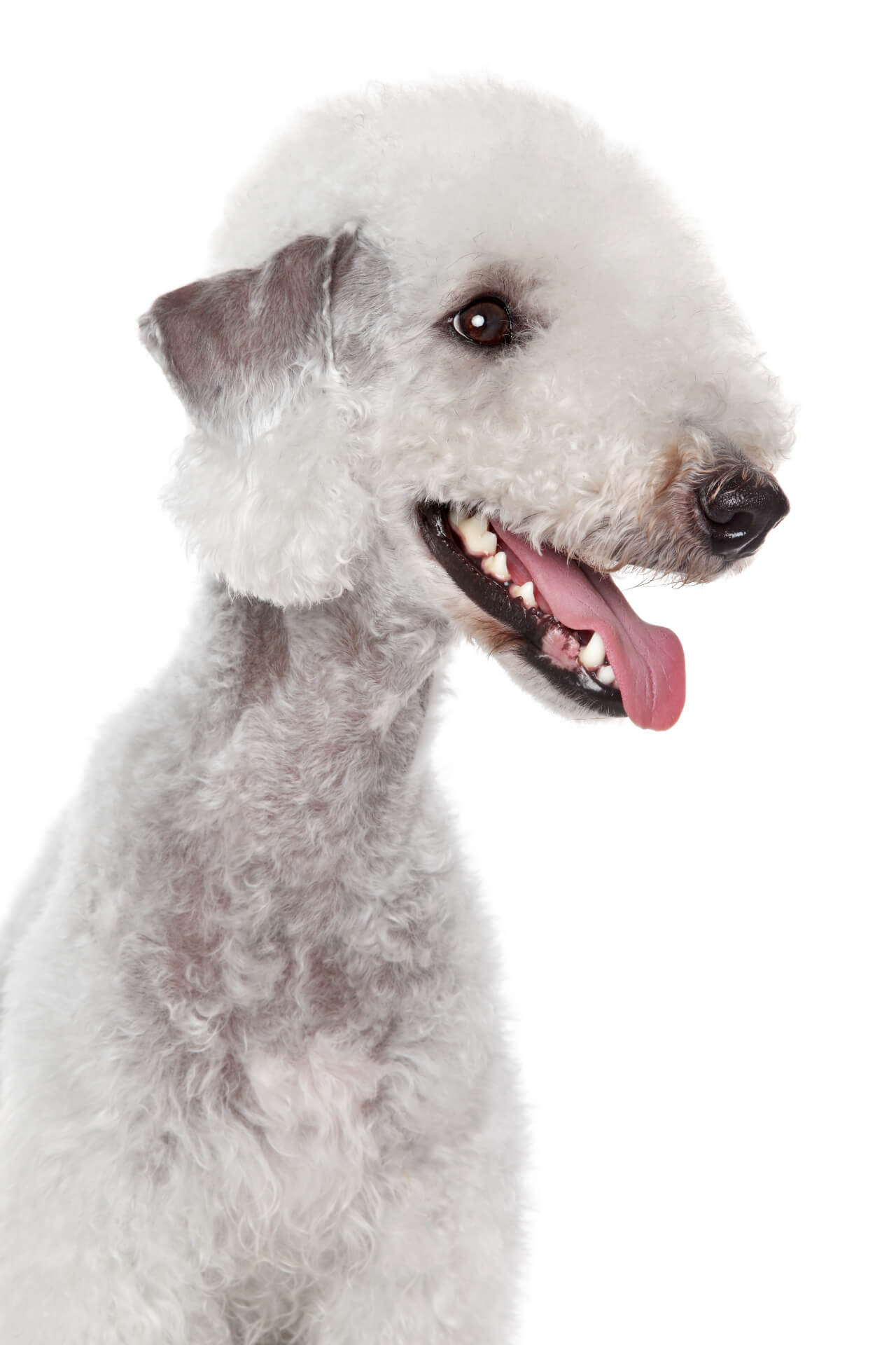 Bedlington Terrier weiss Hundesteckbrief
