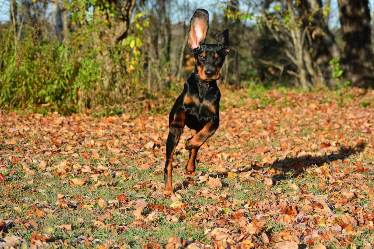 Black and Tan Coonhound im Herbstlaub