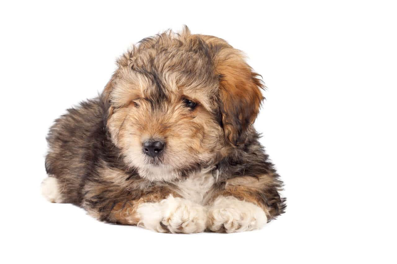 junge Bearded collie Welpe